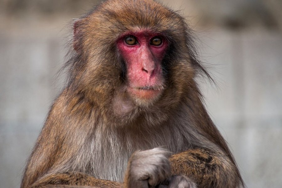 Le Monkey Center d'Awaji